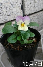 ビオラ 種から 夏まき    10月7日   初開花