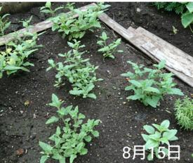 バーベナ 種から    8月15日   いつ咲くの?