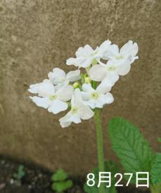 バーベナ 種から    8月25日  開花
