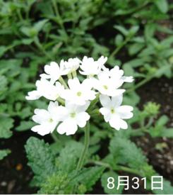 バーベナ 種から    8月31日   また白