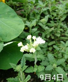 バーベナ 種から    9月4日   期待通りの白