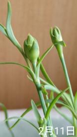 カーネーション 種から    2月11日   蕾の生長はゆっくり