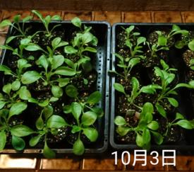 わすれな草  ブルームッツ種から    10月3日   こんなんでいいの?