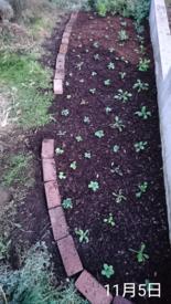 わすれな草  ブルームッツ種から    11月5日   地植え