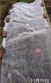 わすれな草  ブルームッツ種から    11月19日   全部覆う