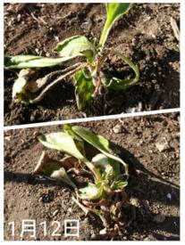わすれな草  ブルームッツ種から    1月12日   寒風の乾燥2