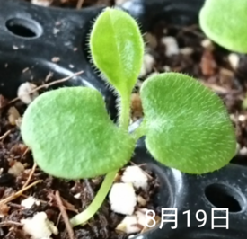 わすれな草  ブルームッツ種から     8月19日   本葉