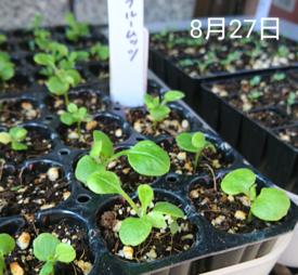 わすれな草  ブルームッツ種から    8月27日   復活