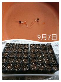 ネモフィラ  種から    9月7日   種まき