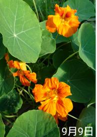 ナスタチウム  種から    9月9日  唯一のオレンジ