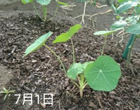 ナスタチウム  種から    7月1日   畑へ