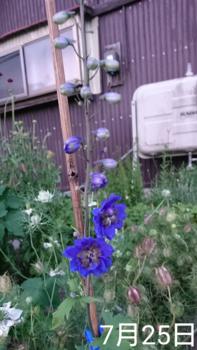 デルフィニウム 種から 2019 花第1号は青🌼