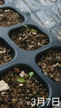 デルフィニウム 種から 2019 発芽と残りの種をまく