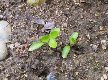 クリスマスローズ ② 『リリー』 2013年 種から育てる ① 本葉が出た