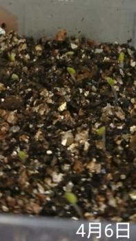 フレンチラベンダー 種から2019春 6日目 発芽