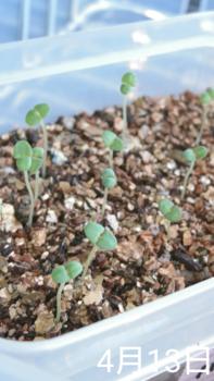 フレンチラベンダー 種から2019春 13日目 発芽率約50%