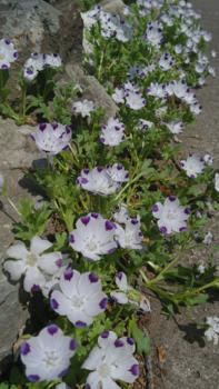②ネモフィラ4種類 春まき2019 石の隙間にマクラタ