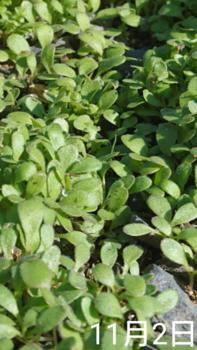 ②ネモフィラ4種類 春まき2019 こぼれ🌱最近になって一気に発芽