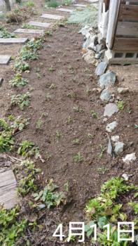 ②ネモフィラ4種類 春まき2019 ビフォー 植え付け直後
