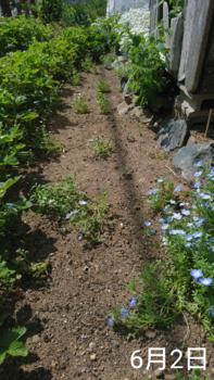 ②ネモフィラ4種類 春まき2019 アフター 植え付けから約2ヵ月後