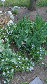 ②ネモフィラ4種類 春まき2019 咲き終わったチューリップの葉と共演
