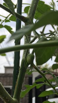 初めての秋トマト🍅〜秋に収穫出来るミニトマト〜 20190825
