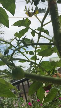 初めての秋トマト🍅〜秋に収穫出来るミニトマト〜 20190902