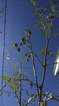 初めての秋トマト🍅〜秋に収穫出来るミニトマト〜 20190917