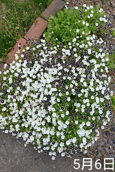 ①ネモフィラ2色とリムナンテス🌱こぼれ種の観察 2019秋〜 暑さで花が傷む