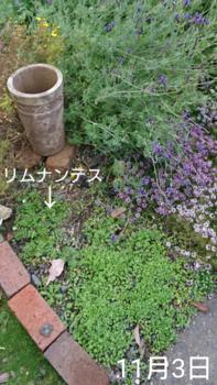①ネモフィラ2色とリムナンテス🌱こぼれ種の観察 2019秋〜 緑(芽)が増える