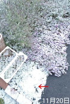 ①ネモフィラ2色とリムナンテス🌱こぼれ種の観察 2019秋〜 初雪