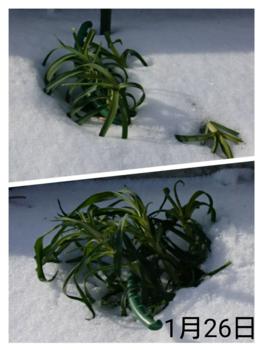 1🌼カーネーション 種から 夏まき    1月26日  外組2株の様子