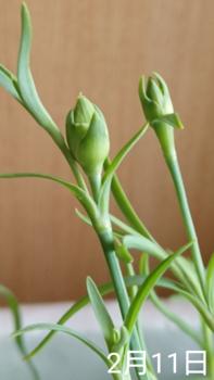 1🌼カーネーション 種から 夏まき    2月11日   蕾の生長はゆっくり