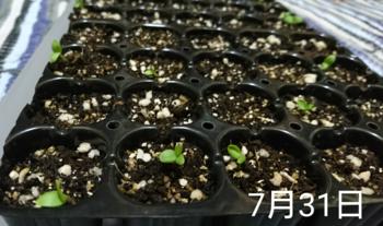 1🌼カーネーション 種から 夏まき    7月31日   続々と発芽中