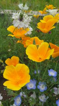 ネモフィラ  種から 秋まき   再び他の草花と共演