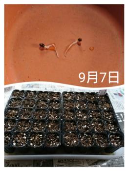 ネモフィラ  種から 秋まき    9月7日   種まき
