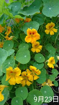 ナスタチウム  種から    9月23日  花ざかりになってきた