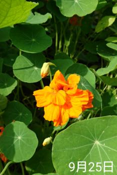 ナスタチウム  種から    オレンジ花は八重咲き