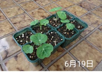 ナスタチウム  種から    6月19日   発芽数日後