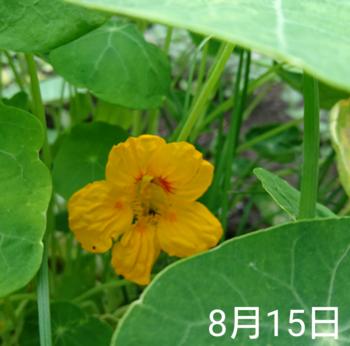 ナスタチウム  種から    8月15日   ひっそり開花