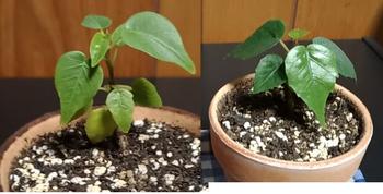 印度菩提樹 実生 葉っぱの形
