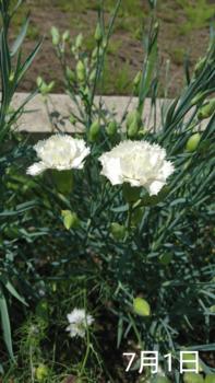 2🌼カーネーション 種から 夏まき   地植え組 白花