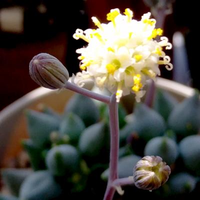 白寿楽の花が咲きました。なんか和菓子みたい。