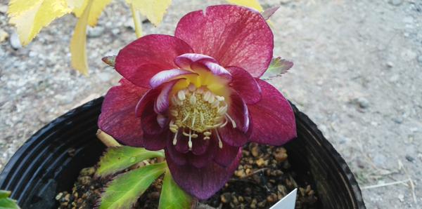 加藤農園さんの花です。 No.154367 FY1ddゴールドhybレッドフルベイン♀ⅹddディープイ