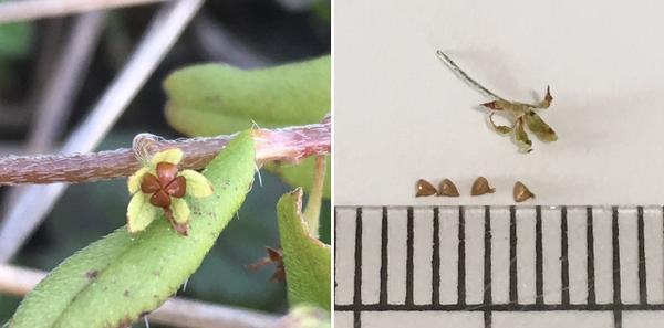 【胡瓜草:キュウリグサ】 種子:約1mm 一つの果実に4個の種子がつまっている。 📷