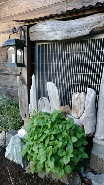 室外機の下からレモンバーム 2019年11月  2年前の秋ごろ、室外機の前の花壇に種まきレ