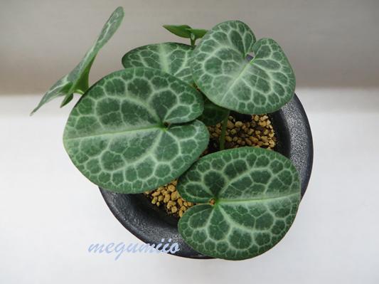 細辛の千代田錦(ちよだにしき)といいます 亀甲模様と葉形が美しい品種です