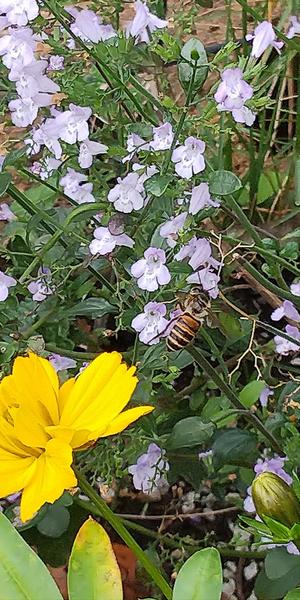 カラミンサの写真 by みつ蜜 カラミンサとニホンミツバチ もう終わりかけのカラミンサ