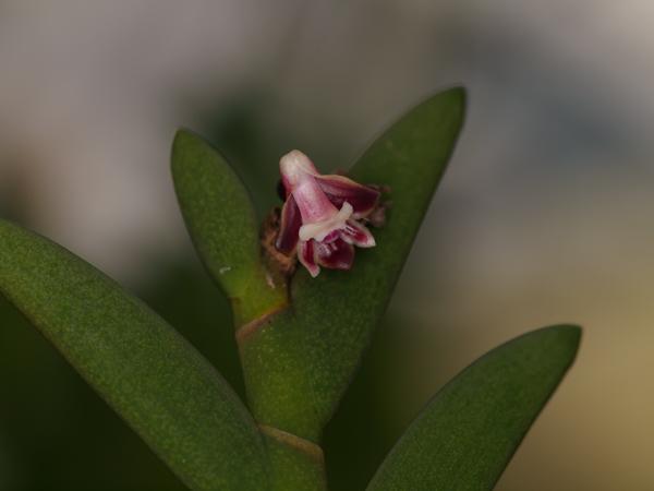 デンドロビウム・アウヨンギイ(Dendrobium auyongii) 草姿が面白い!デンドロビウム