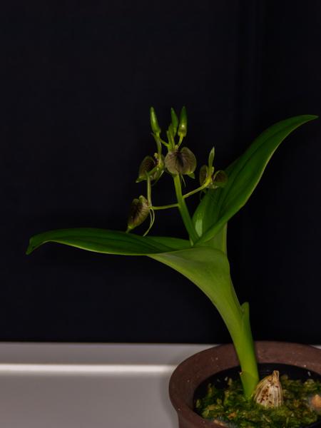 シマクモキリソウ(Liparis hostifolia) 今年6月に南硫黄島で79年ぶりに再発見され